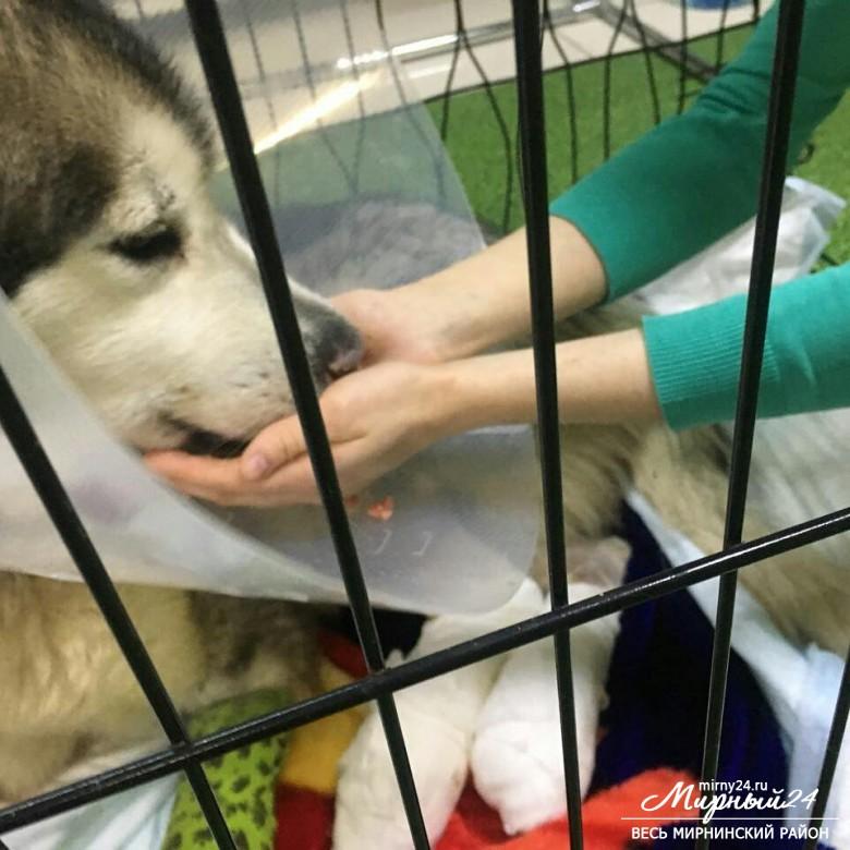Новости о маламуте Рута в г. Мирный (Якутия) фото 6